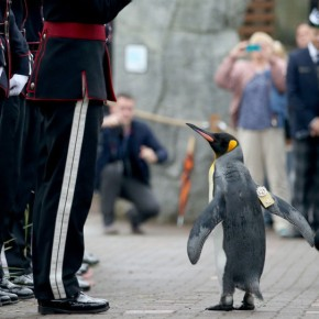 The Knighted Penguin